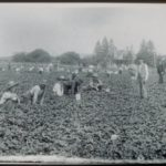 Men and women picking strawberries, 1898