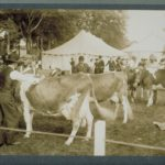 Dairy cattle at Connecticut fair, Charter Oak Park, West Hartford, 1908