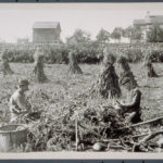 Men husking corn, Mystic area, ca. 1900