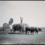 Loading hay into ox-drawn wagon, Mystic area, ca. 1900