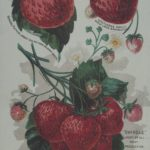 General Putnam and other strawberry varieties, G.H. and J.H. Hale Co., Glastonbury, 1890s