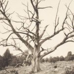 Last chestnut tree in Granby, 1935