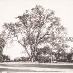 Wethersfield Great Elm, ca. 1940